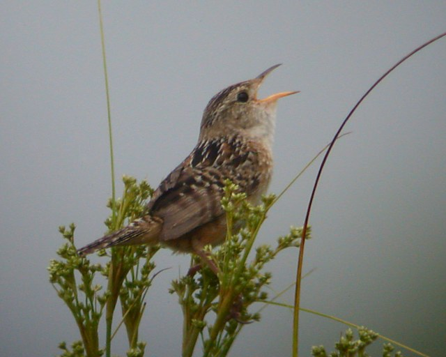 Sedge Wren photo #4