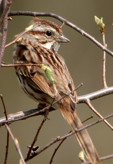Song Sparrow Photo 4