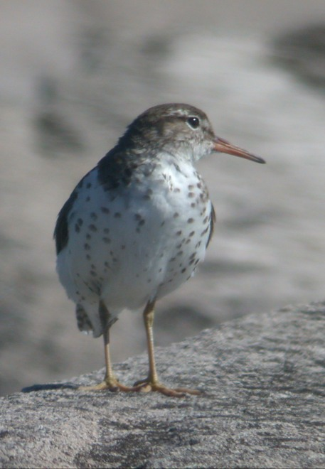 Spotted Sandpiper Photo 6