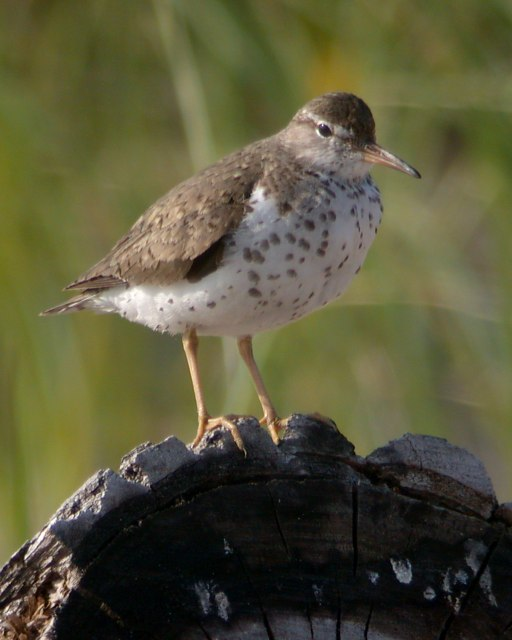 Spotted Sandpiper Photo 4