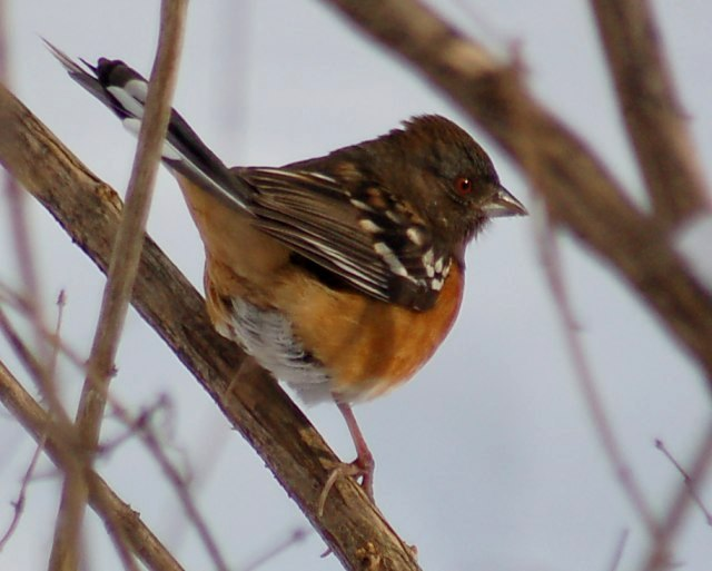 Spotted Towhee (female)