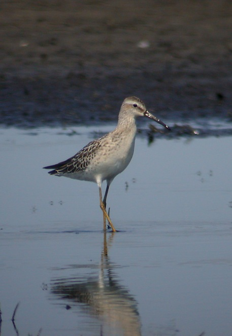 Stilt Sandpiper (juvenile) Photo 4
