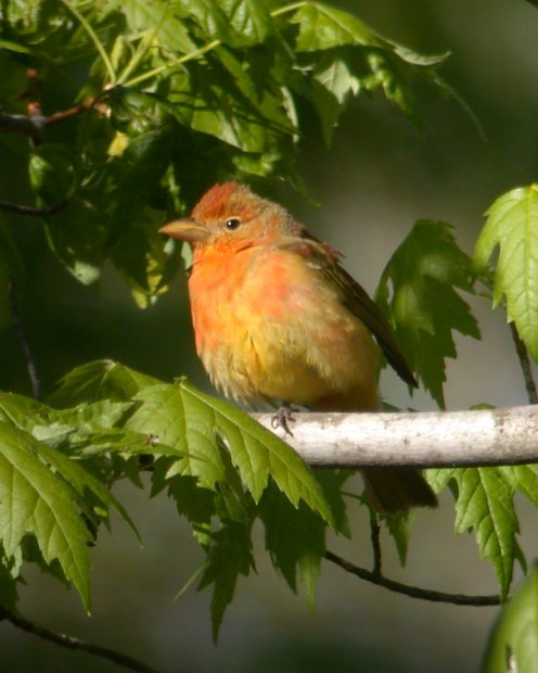 Summer Tanager (1st cycle male) Photo 4
