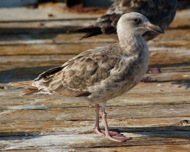 Western Gull (1st year)