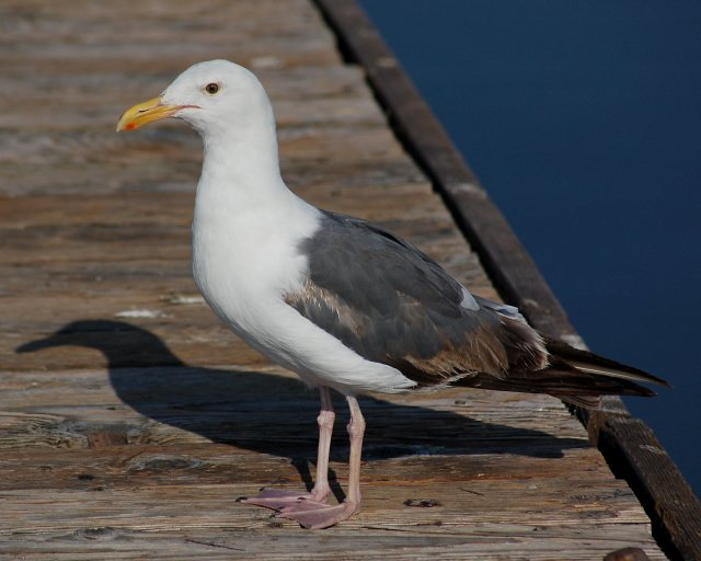 Western Gull (3rd year) photo #2
