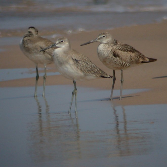 Willet (Western Race - adult and juveniles)