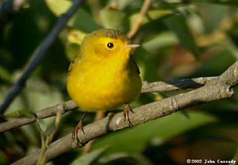 Wilson's Warbler Photo 3