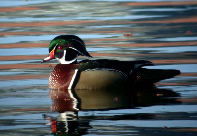 Wood Duck Photo 7
