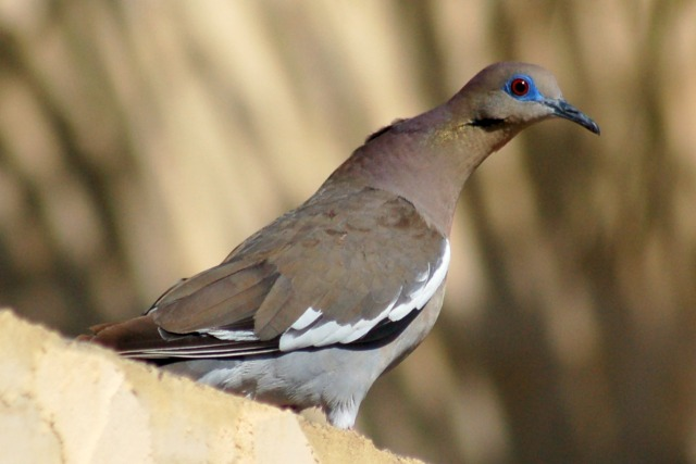 White-winged Dove photo #1