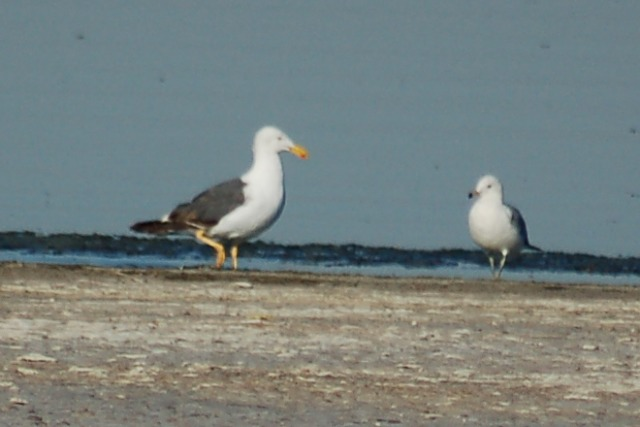 Yellow-footed Gull (3rd Summer) photo #1