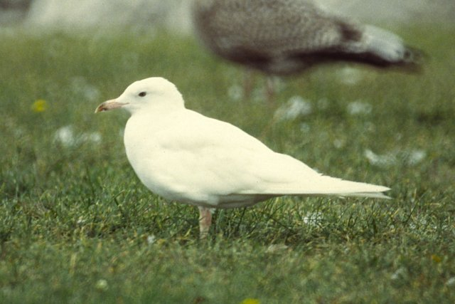 Albino Ring-billed Gull