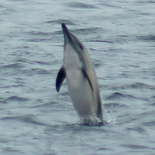Common Dolphin photo #2