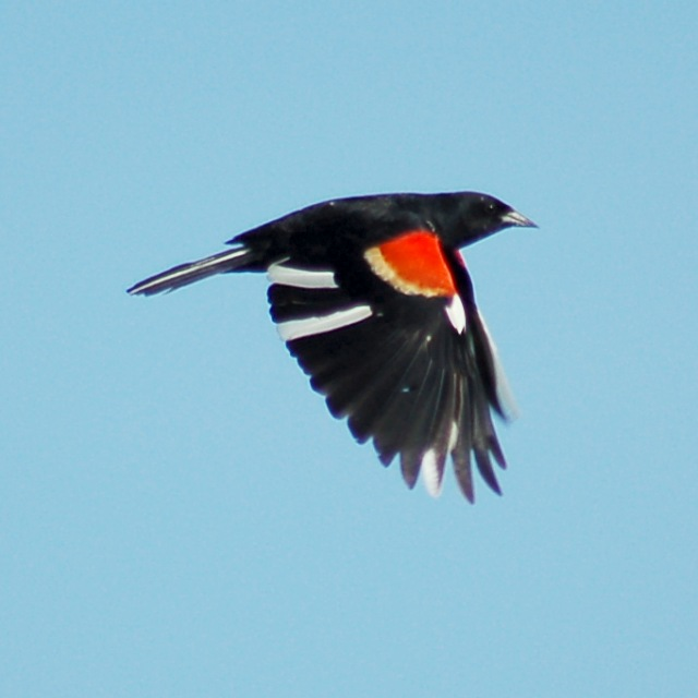 Red-winged Blackbird (partial albino)