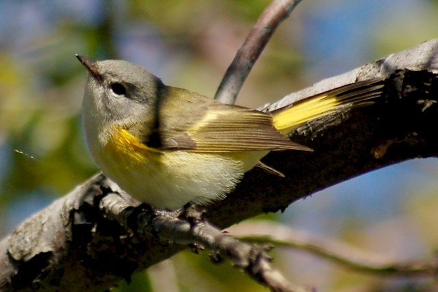 American Redstart (adult female or immature male) photo #2