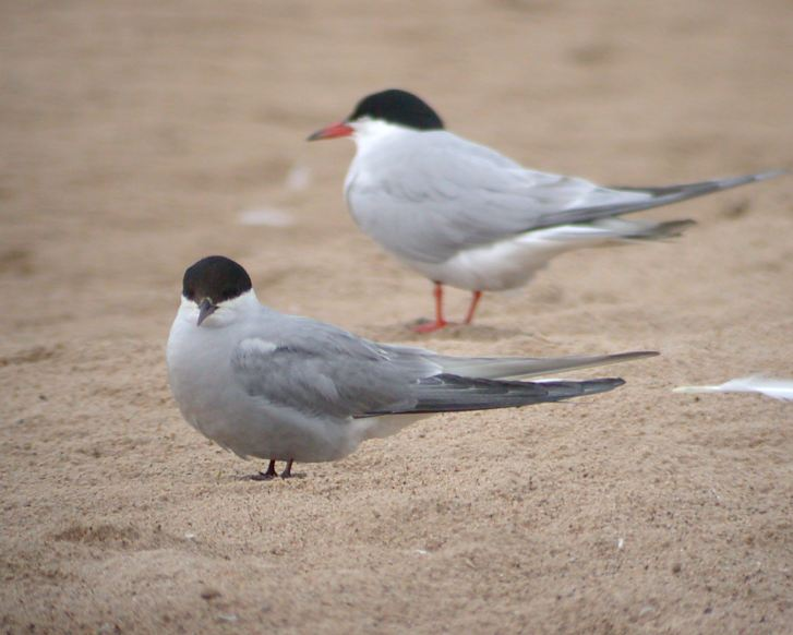 Arctic Tern (adult) Photo 3