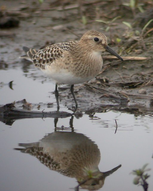 Baird's Sandpiper (juvenile) photo #6