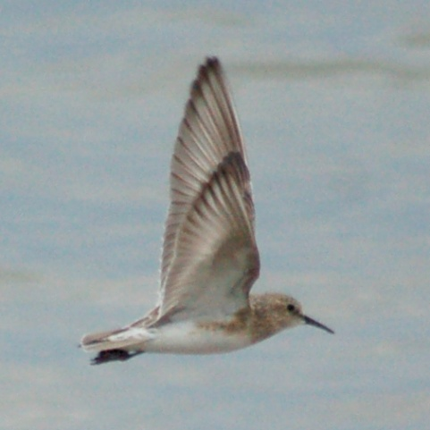 Baird's Sandpiper (adult in flight)