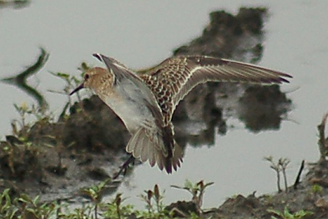 Baird's Sandpiper (juvenile in flight)