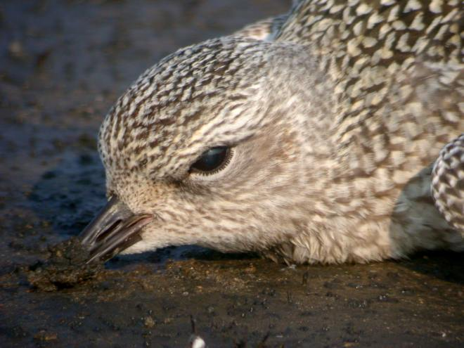 dying Black-bellied Plover
