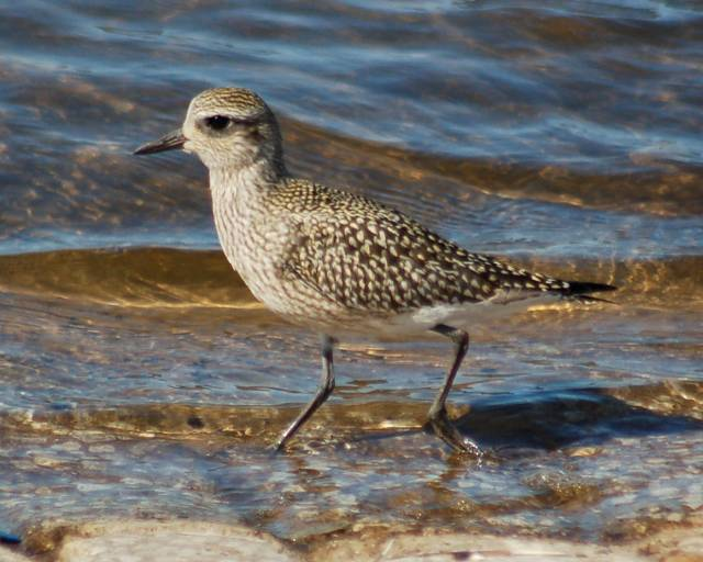 Black-bellied Plover (fresh juvenile) photo #4