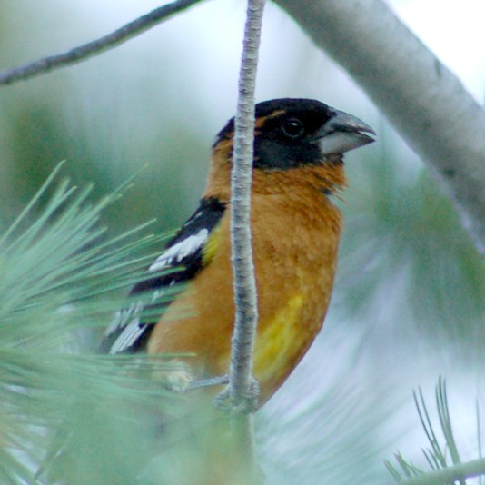 Black-headed Grosbeak photo #3