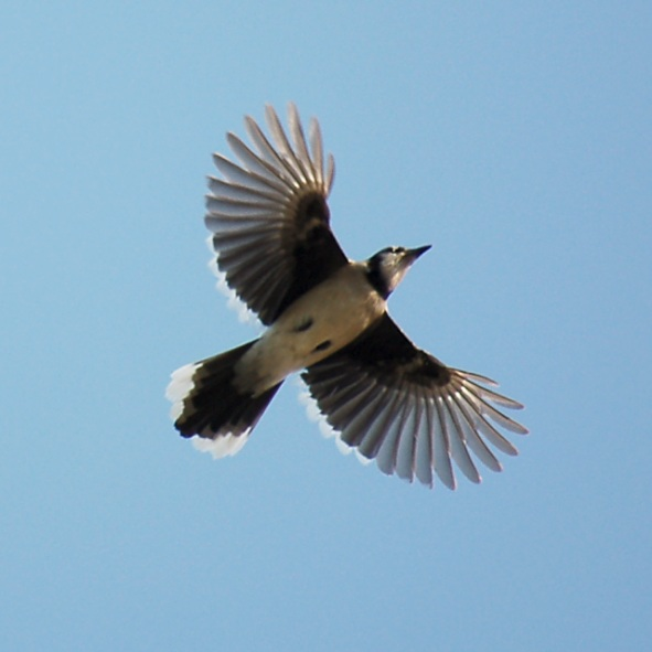 Blue Jay (in flight) photo #1