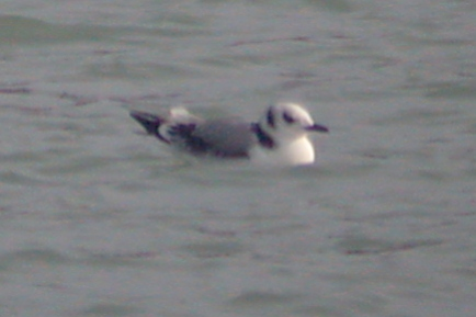 Black-legged Kittiwake (1st winter)