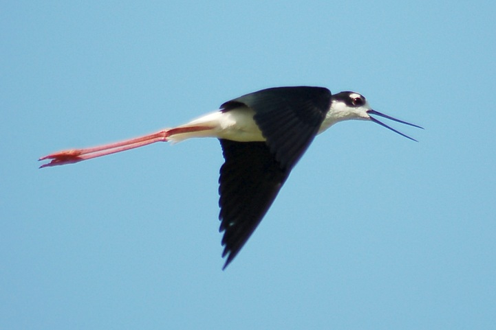 Black-necked Stilt photo #3