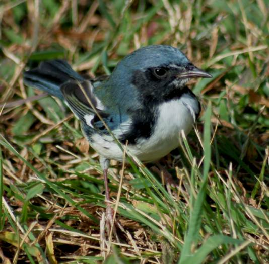 Black-throated Blue Warbler (1st fall male)