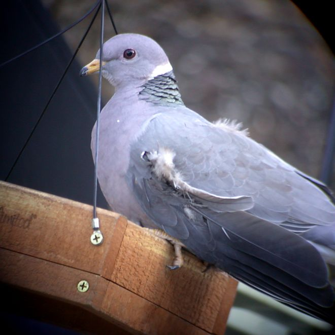 Band-tailed Pigeon Photo 3