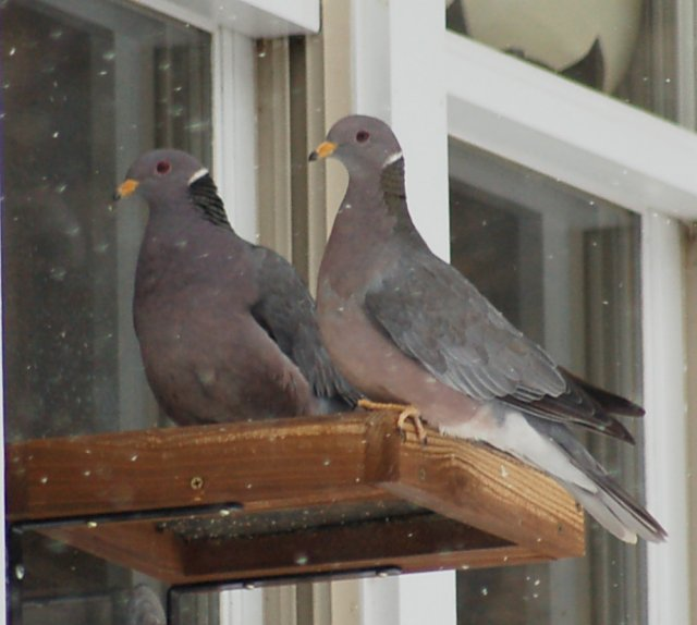 Band-tailed Pigeon Photo 1