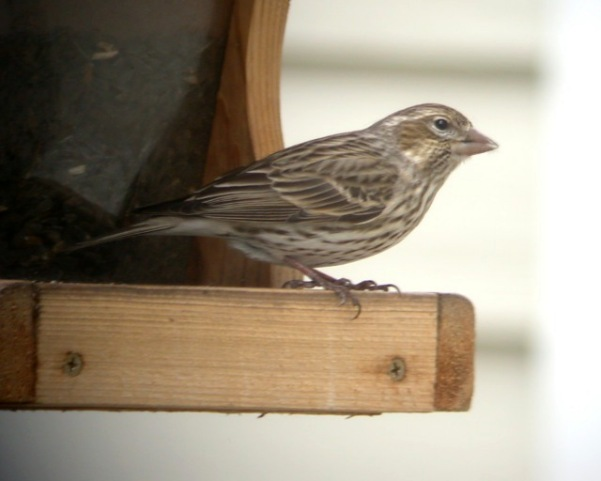 Cassin's Finch (female)
