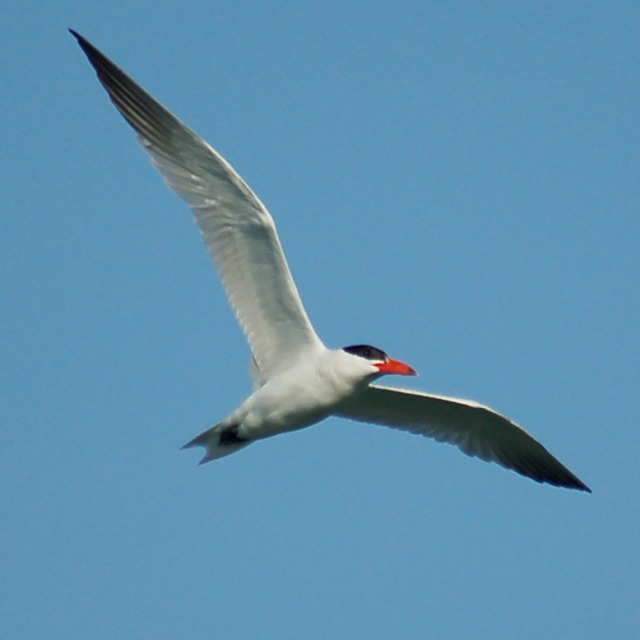 Caspian Tern (adult) photo #2