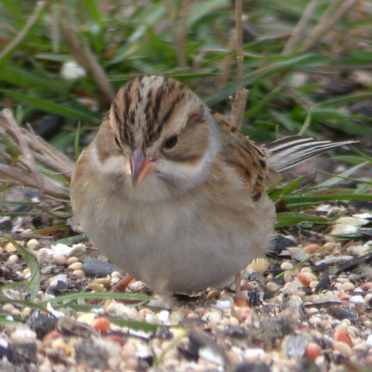 Clay-colored Sparrow photo #3