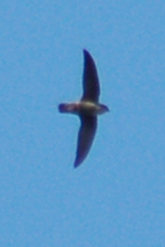 Chimney Swift photo #2