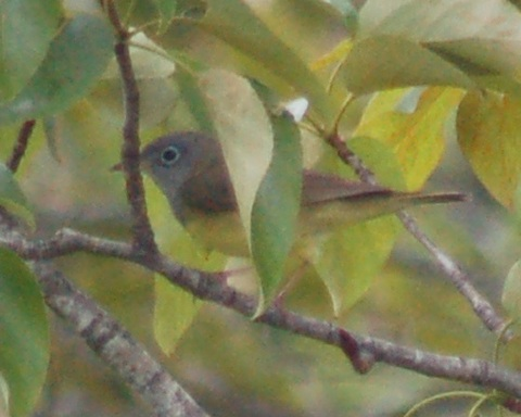 Connecticut Warbler Photo 2
