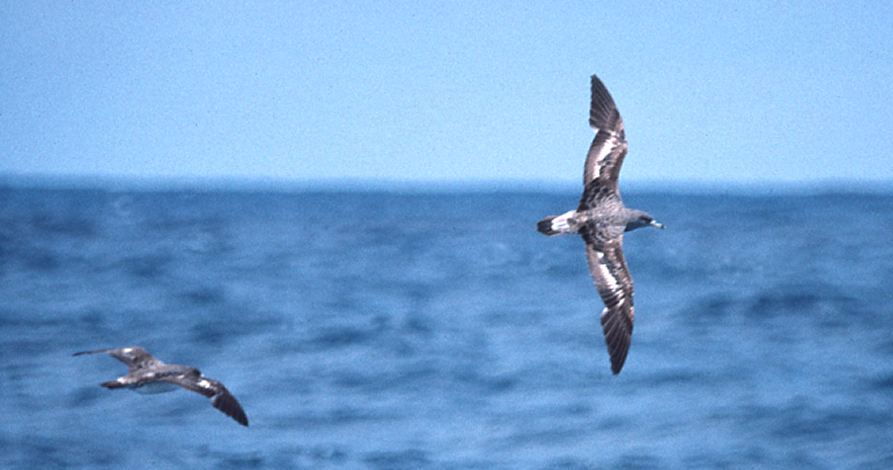 Cory's Shearwater photo #1