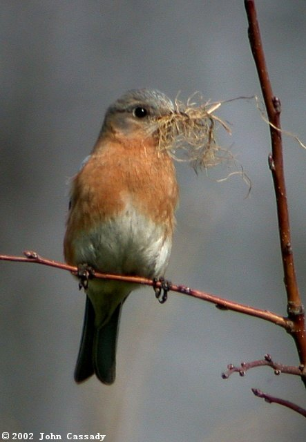 Eastern Bluebird photo #3