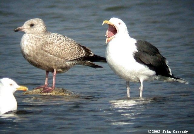 Great Black-backed Gull Photo 3