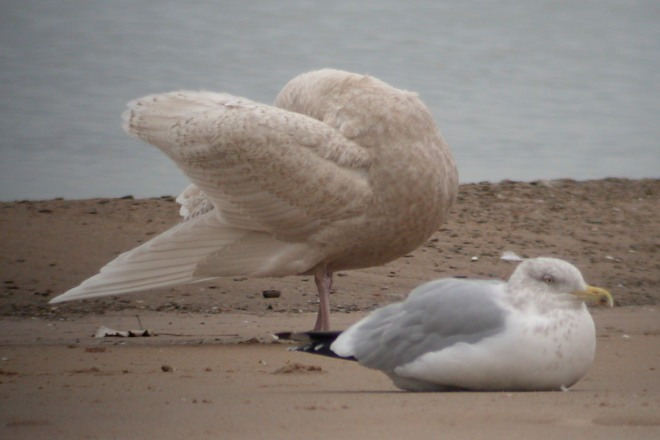 Glaucous Gull (first cycle) photo #5
