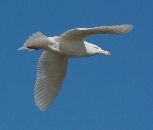 Glaucous Gull (3rd cycle)