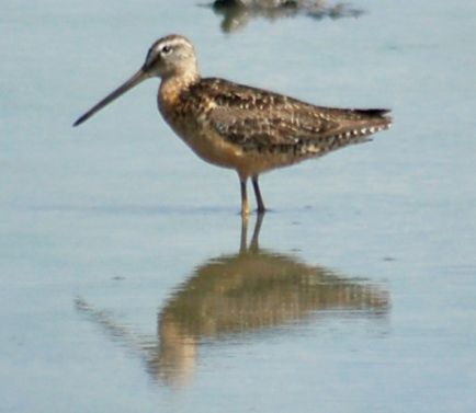 Long-billed Dowitcher photo #1