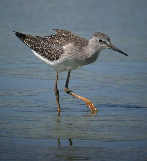 Lesser Yellowlegs (juvenile)
