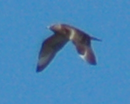 Long-tailed Jaeger (juvenile) photo #1
