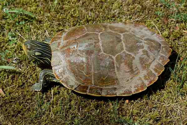 Map Turtle photo #2