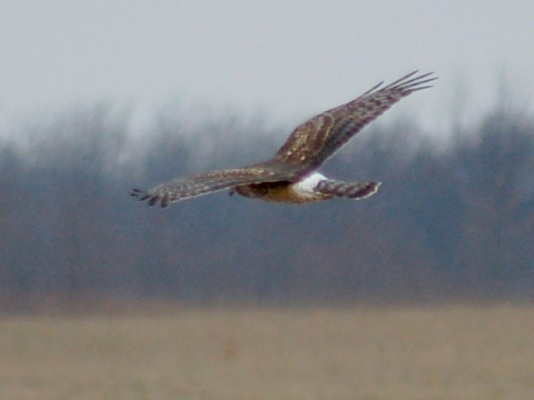 Northern Harrier (juvenile) photo #4