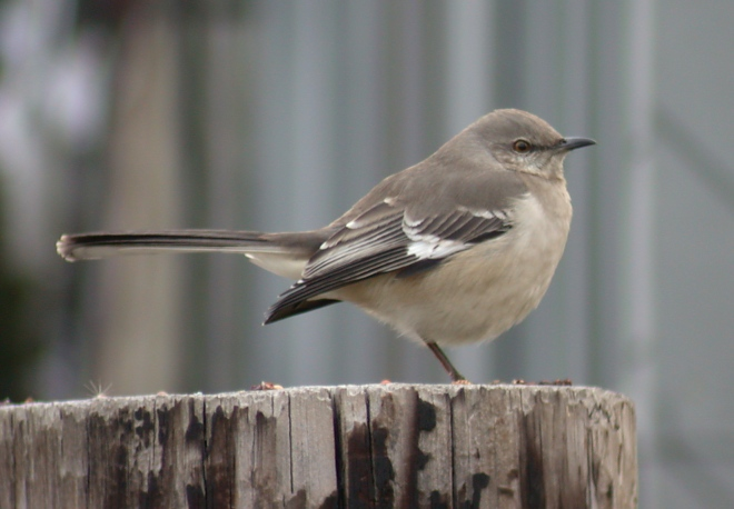 Northern Mockingbird Photo 2