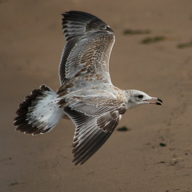 Ring-billed Gull (adult)