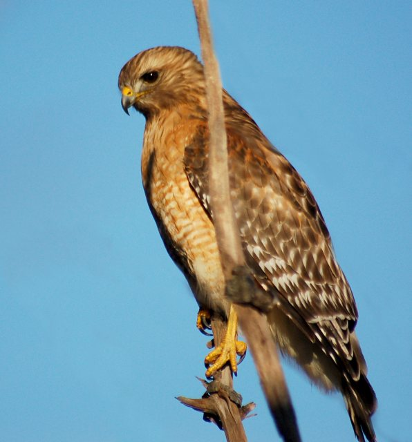 Red-shouldered Hawk photo #4