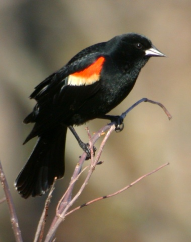 Red-winged Blackbird photo #2